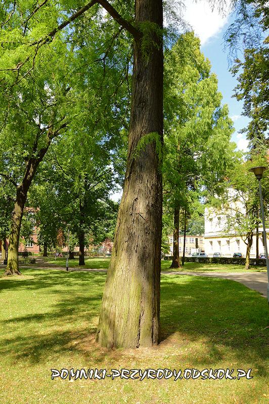 Park Miejski w Lesznie - pień cypryśnika błotnego