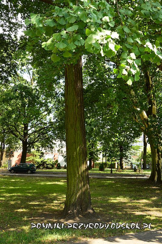 Park Miejski w Lesznie - pień miłorzębu