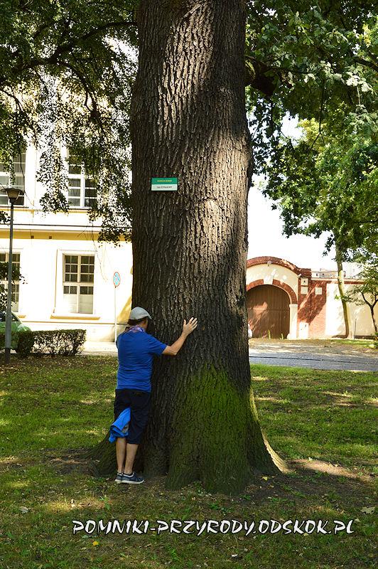 Park Miejski w Lesznie - pień okazałego dębu