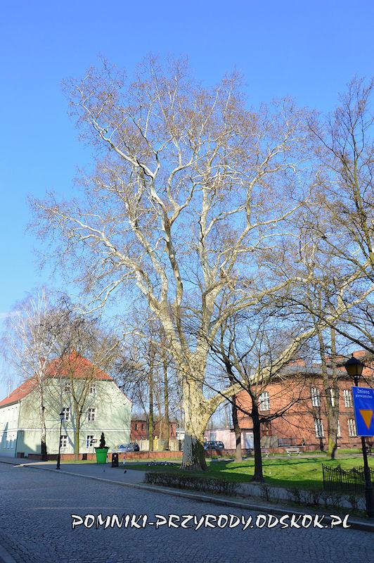 Park Miejski w Lesznie - platan klonolistny