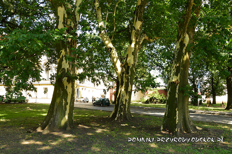grupa platanów w narożniku Parku Miejskiego w Lesznie