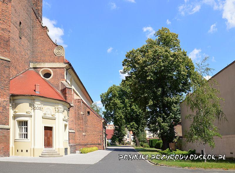 pomnikowe lipy przy kościele św. Jana w Lesznie