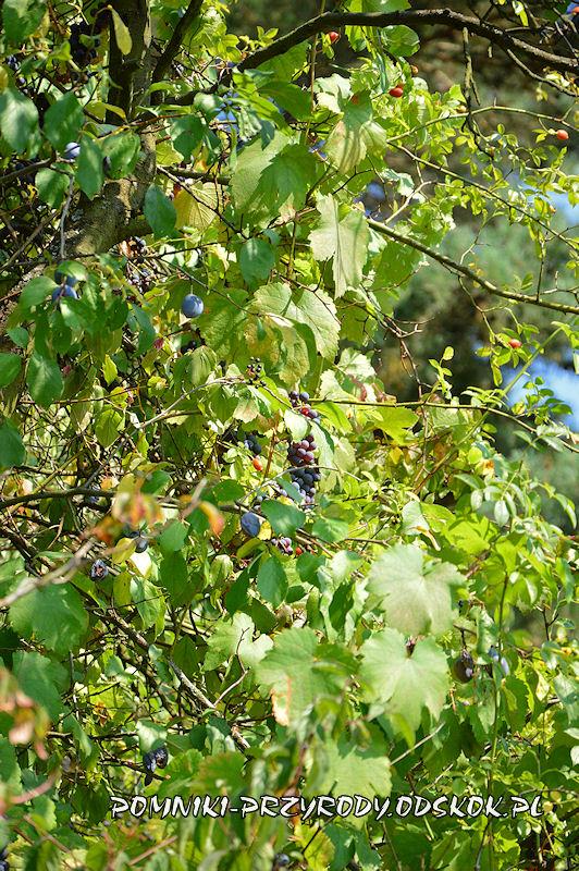 Łaz stanowisko nr 1 - pomnikowa winorośl wspinająca się po śliwie