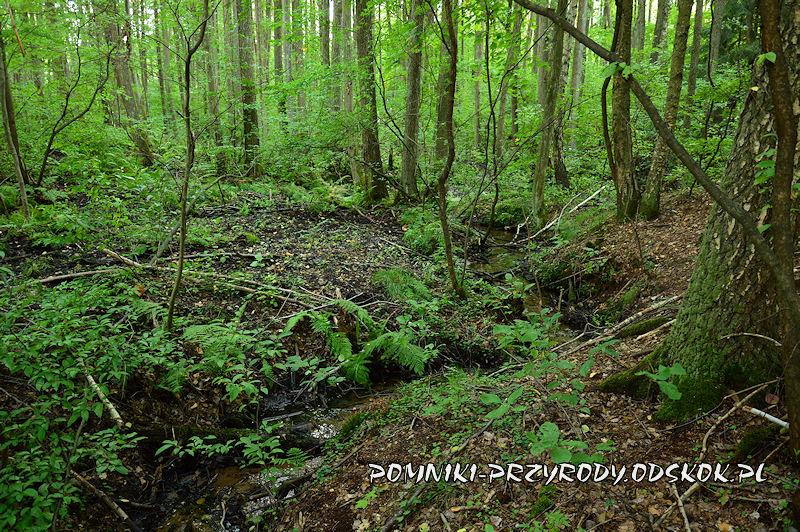 4. Leśne Źródlisko w Ochli - las olszowy