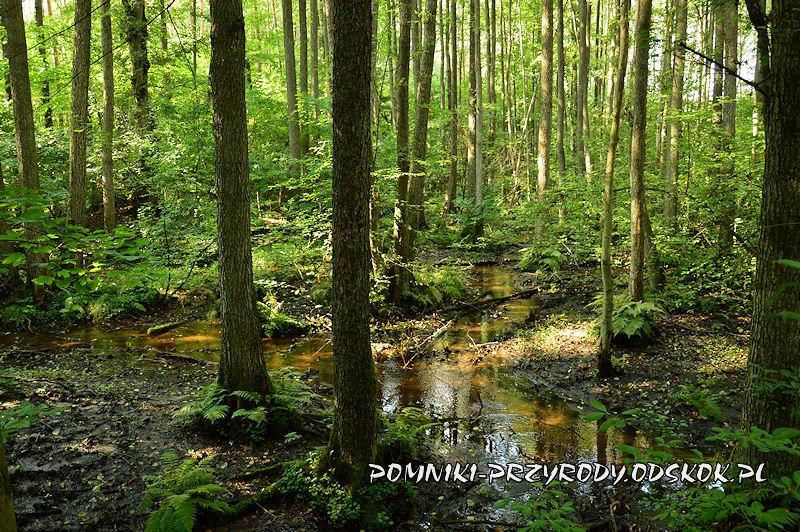 Leśne Źródlisko w Ochli - okolice ujścia strumienia do stawu