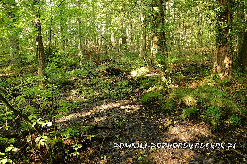 Leśne Źródlisko w Ochli - zabagniony teren na trasie ścieżki edukacyjnej