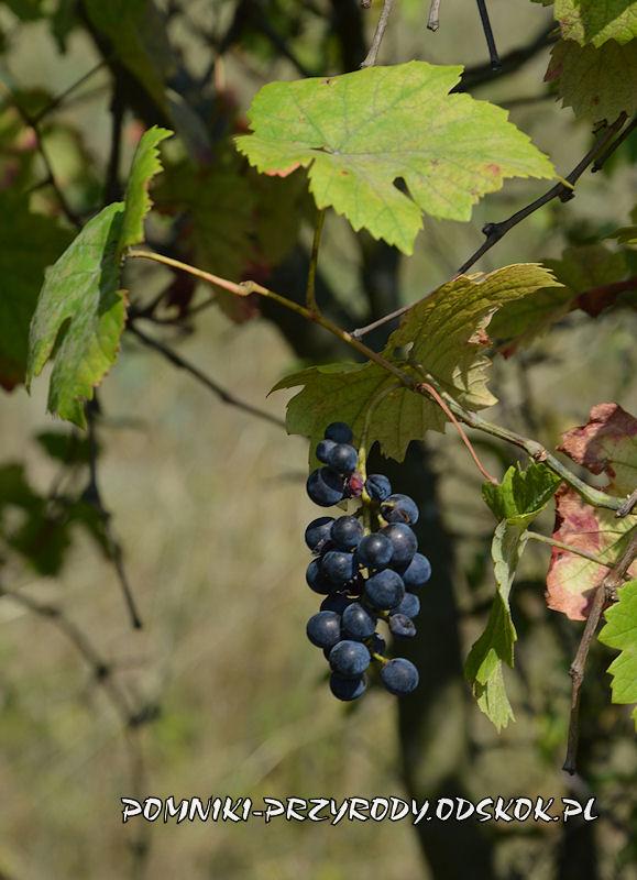 owoce winorośli ze stanowiska nr 2