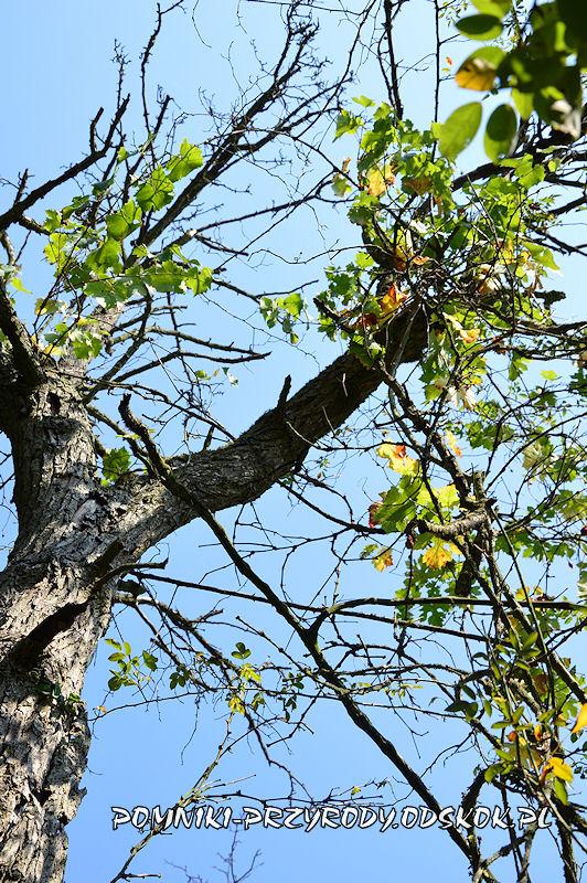 pędy winorośli na gałęzi uschniętej gruszy