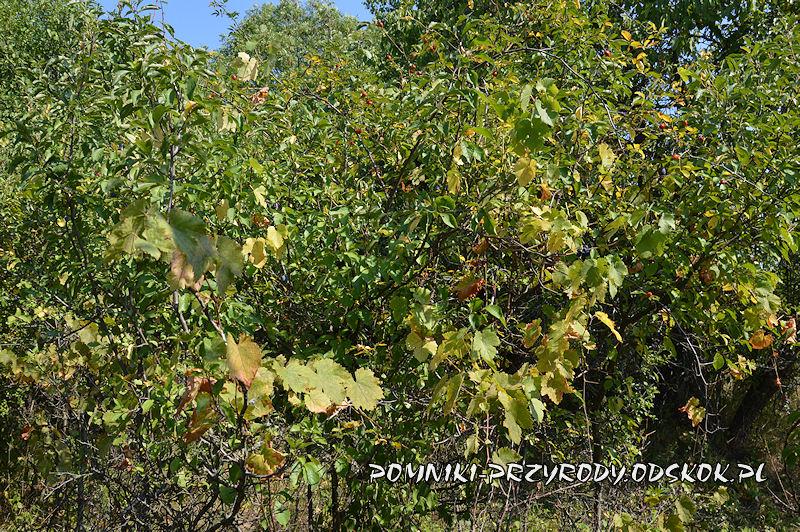 pędy winorośli na stanowisku nr 2