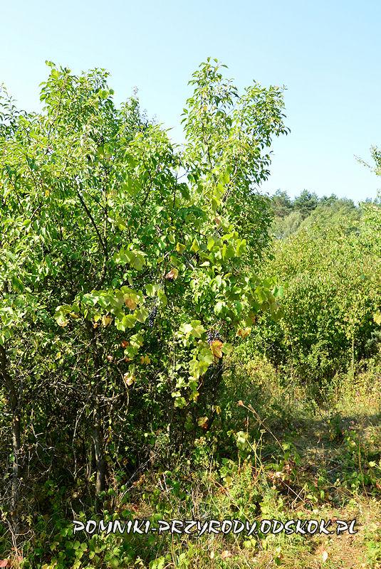 pomnikowa winorośl w Łazie - pędy pnące się po krzewie śliwy
