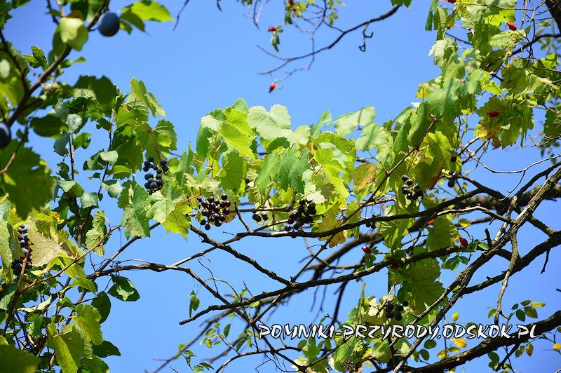 stanowisko nr 1 - winorośl pnąca się po krzewie dzikiej róży