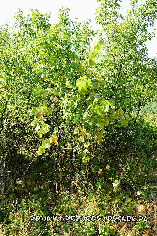 stanowisko nr 2 - winorośl pnąca się po krzewie śliwy
