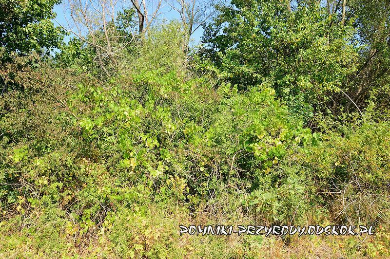stanowisko nr 3 - winorośl pnąca się po krzewach tarniny
