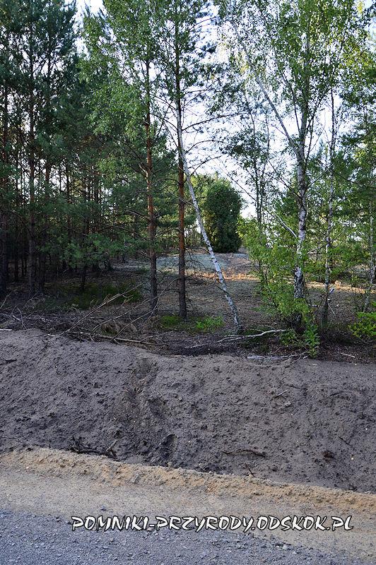 Świętno - pomnikowy jałowiec widoczny z leśnej drogi