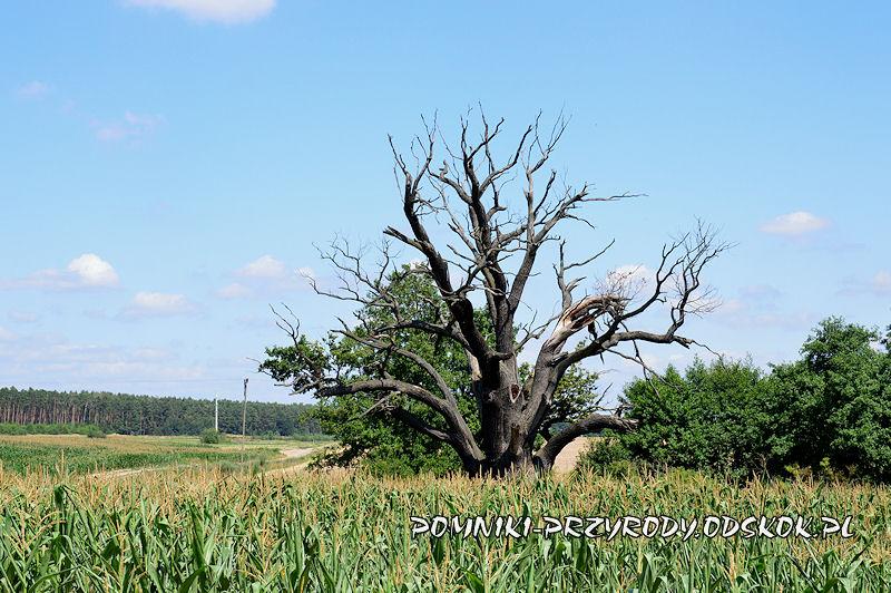 Kargowa - niemal całkowicie uschnięty pomnikowy dąb