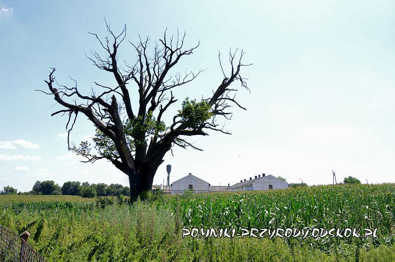 Kargowa - usychający pomnikowy dąb