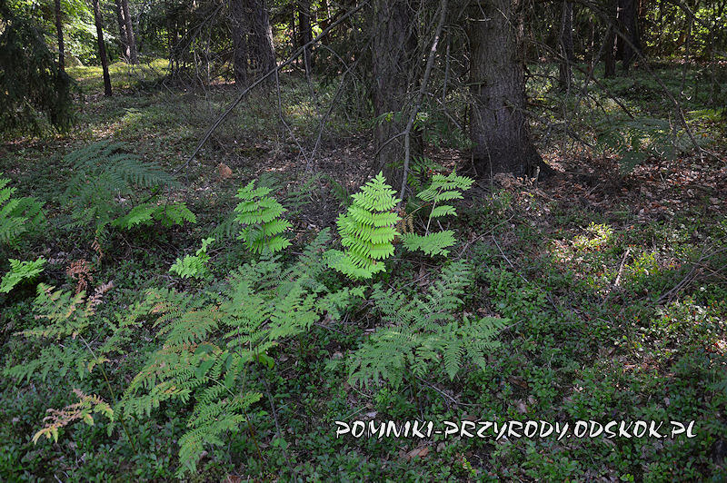 Karszyn - długosz królewski w powierzchniowym pomniku przyrody