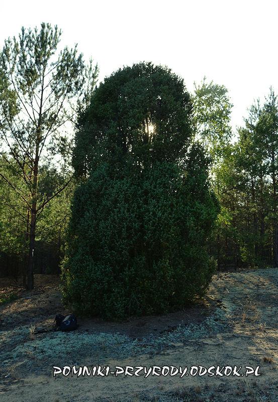 las k. wsi Świętno - pomnikowy jałowiec