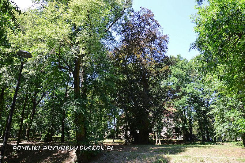 pomnikowy buk rosnący w parku w Kargowej