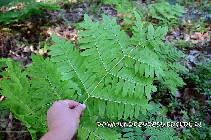 spodnia część liścia długosza królewskiego