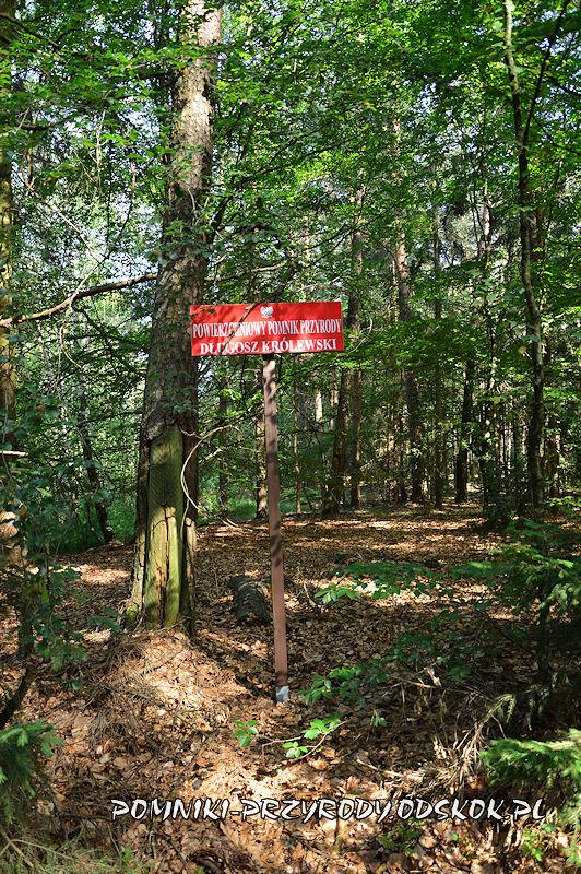tablica przy pomniku przyrody Długosz Królewski