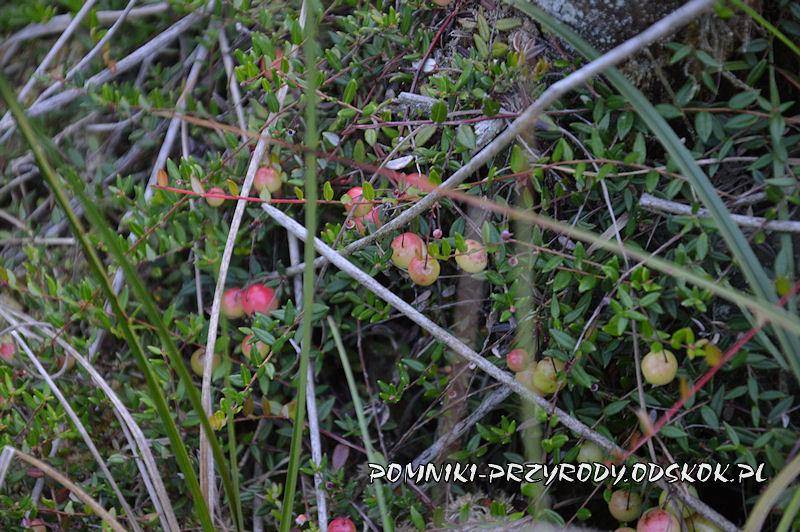 krzewinka żurawiny błotnej