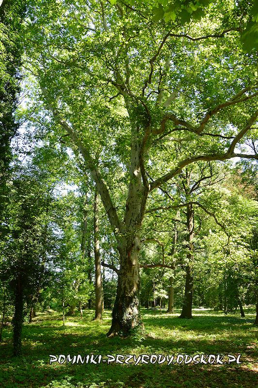 park przypałacowy w Kolsku - pomnikowy platan I