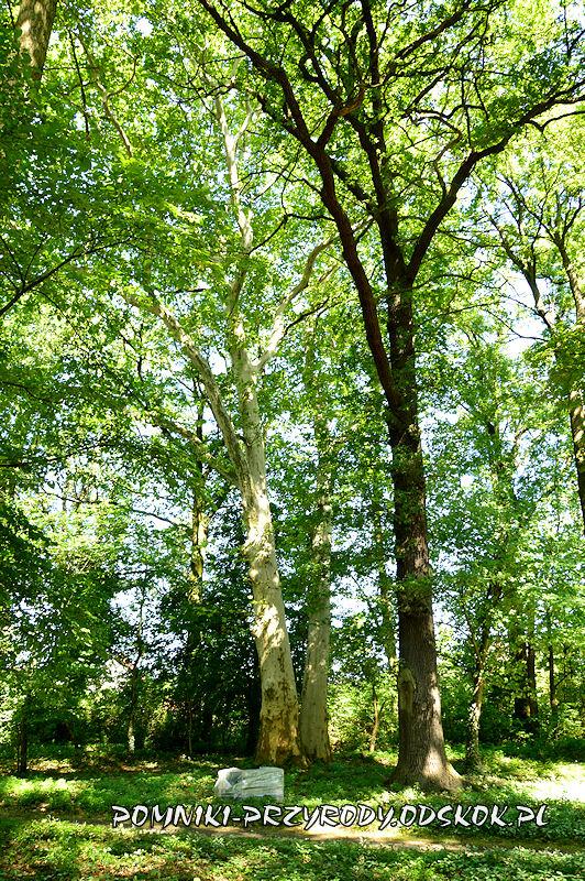 park przypałacowy w Kolsku - pomnikowy platan II