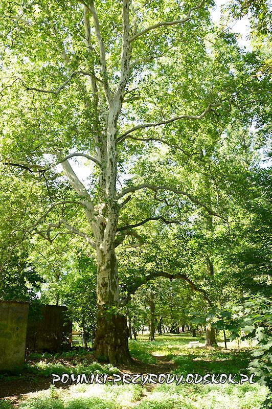 park przypałacowy w Kolsku - pomnikowy platan III