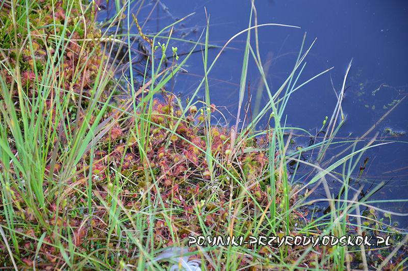rosiczki na brzegu leśnego stawu