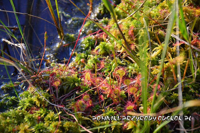 rosiczki okrągłolistne na brzegu Karasiowego Stawu