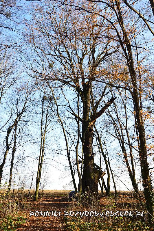 Szydłowiec Śląski - okazały dąb o obwodzie 677 cm