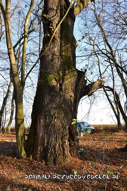 Szydłowiec Śląski - pień okazałego dębu o obwodzie 677 cm