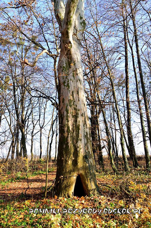 Szydłowiec Śląski - pień pomnikowego platana klonolistnego o obwodzie 521 cm