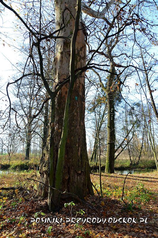 Szydłowiec Śląski - pień pomnikowego platana o obwodzie 521 cm