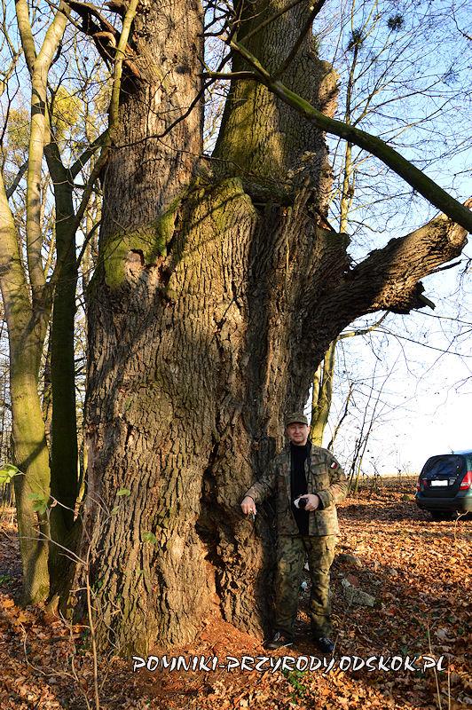 Szydłowiec Śląski - pień sędziwego dębu o obwodzie 677 cm