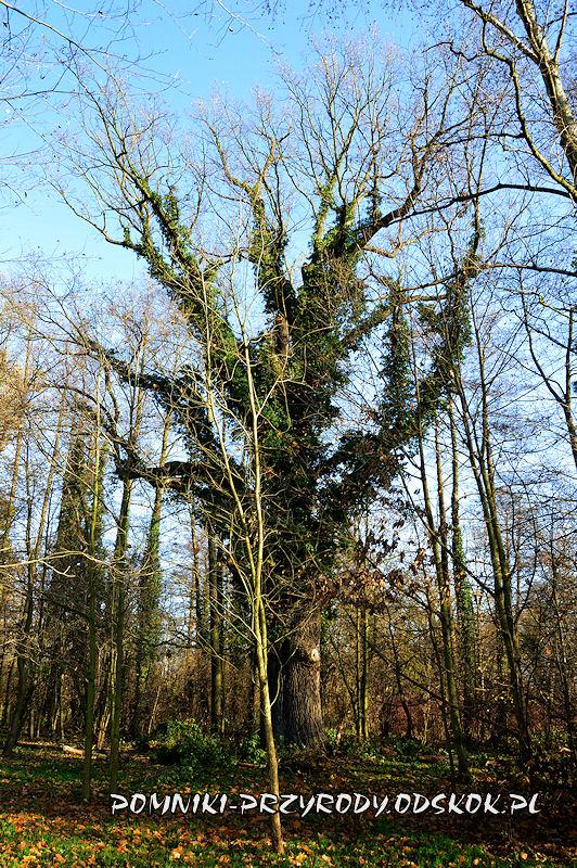 Szydłowiec Śląski - pomnikowy dąb porośnięty bluszczem