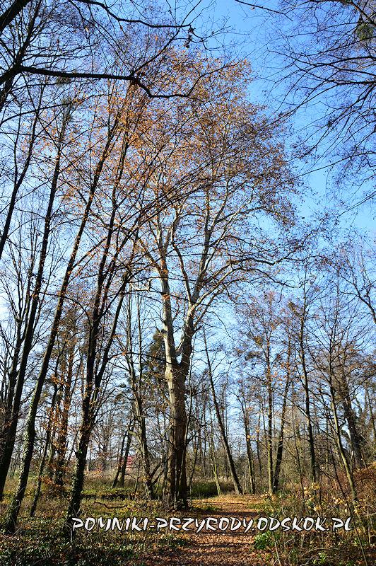 Szydłowiec Śląski - pomnikowy platan klonolistny o obwodzie 521 cm