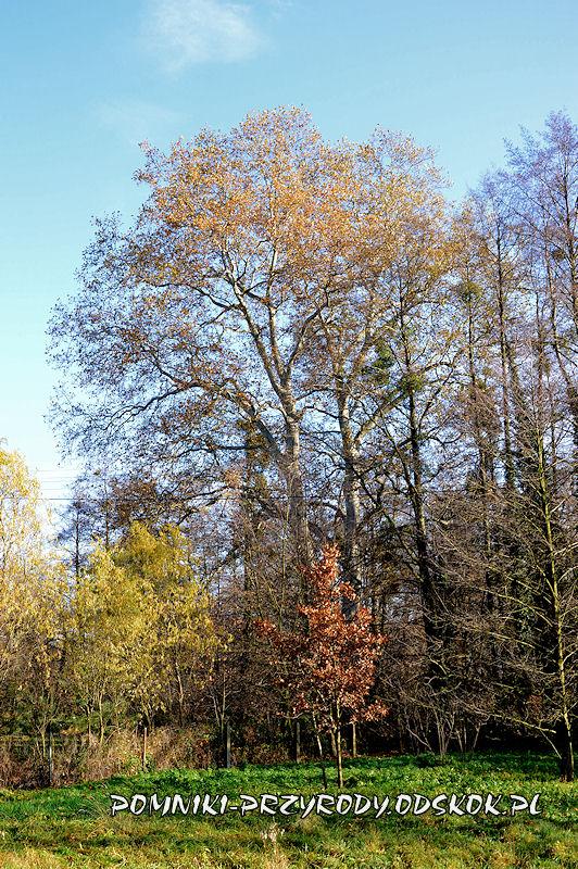 Szydłowiec Śląski - pomnikowy platan klonolistny o obwodzie 596 cm