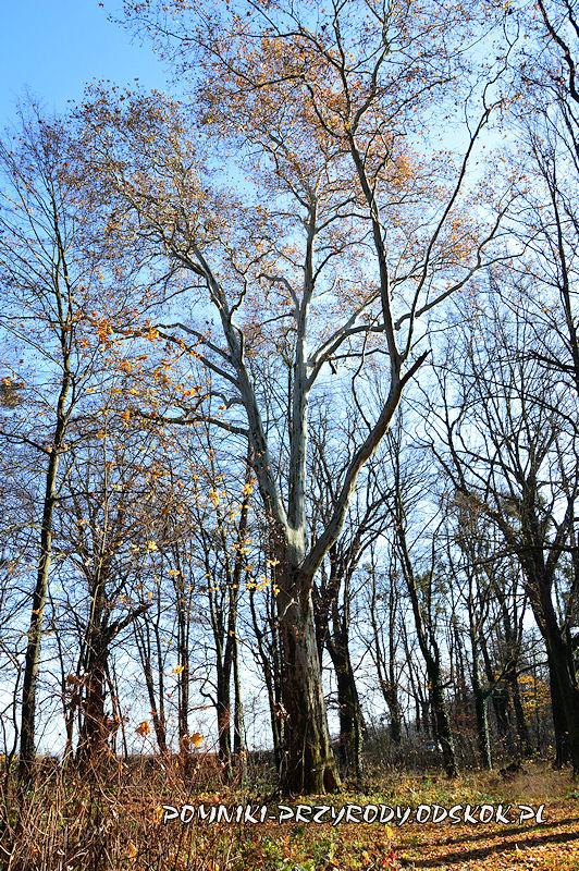 Szydłowiec Śląski - pomnikowy platan o obwodzie 521 cm