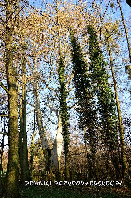 Szydłowiec Śląski - pomnikowy platan o obwodzie 596 cm