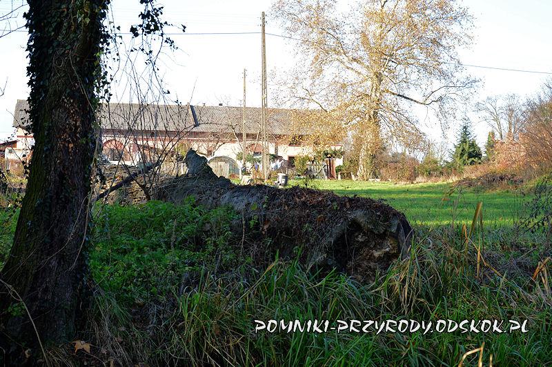 Szydłowiec Śląski - powalony pomnikowy buk