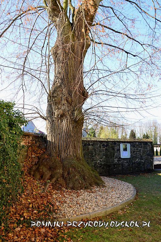 Szydłowiec Śląski - sędziwa lipa na terenie kościoła