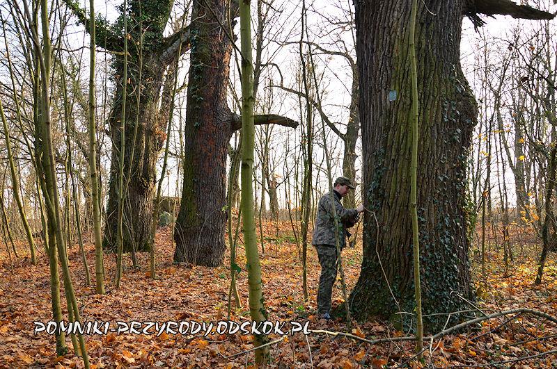 park w Kopicach - pień pomnikowego dębu o obwodzie 412 cm