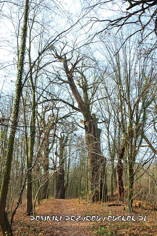 park w Kopicach - pomnikowe dęby o obwodach 650 i 732 cm