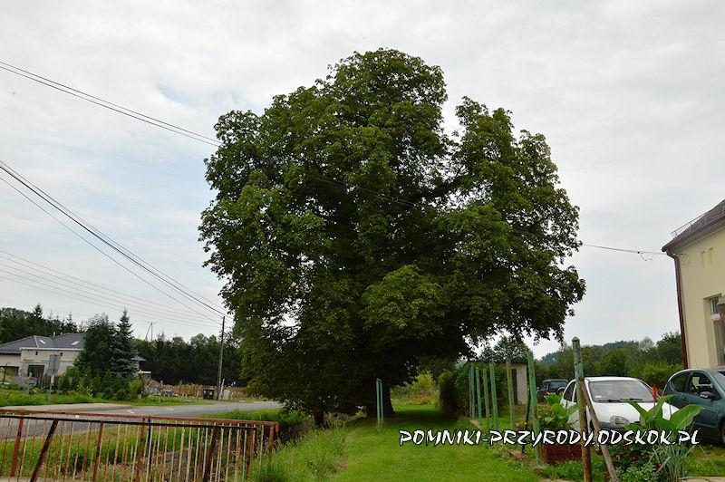Lubiechów - pomnikowy kasztanowiec latem