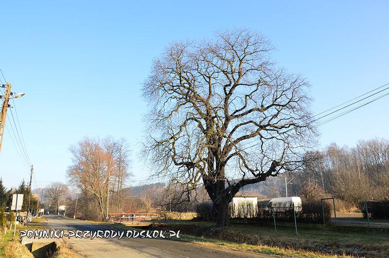 Lubiechów - pomnikowy kasztanowiec zimą