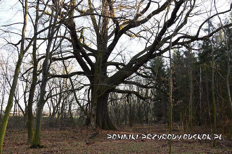 Maniów - pomnikowy dąb o obwodzie 626 cm
