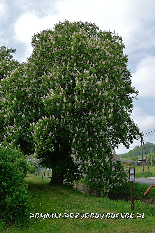 Wałbrzych Lubiechów - kwitnący pomnikowy kasztanowiec