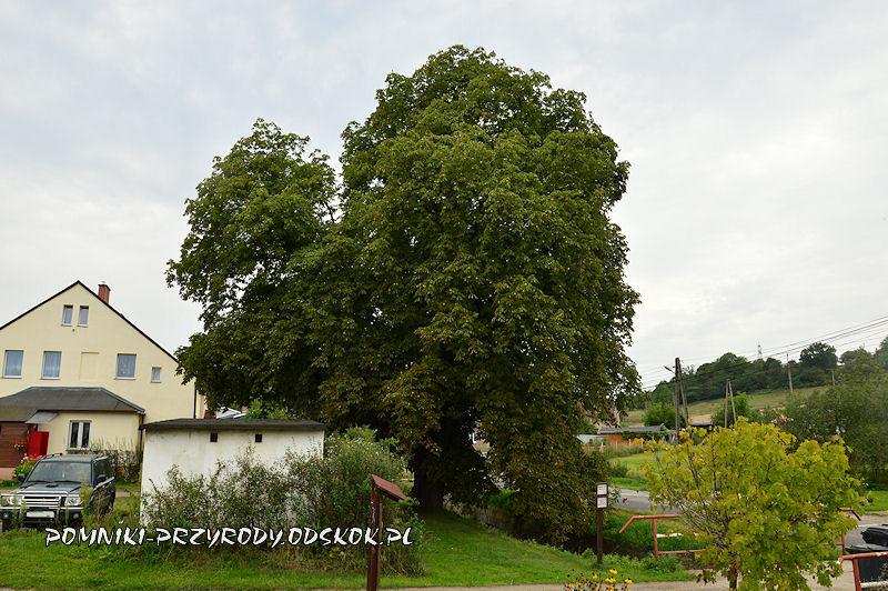Wałbrzych-Lubiechów - pomnikowy kasztanowiec latem